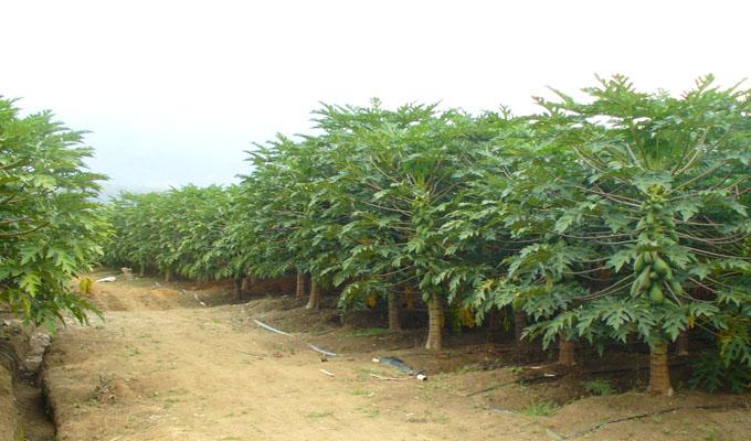 Productos papaya for Viveros frutales bogota