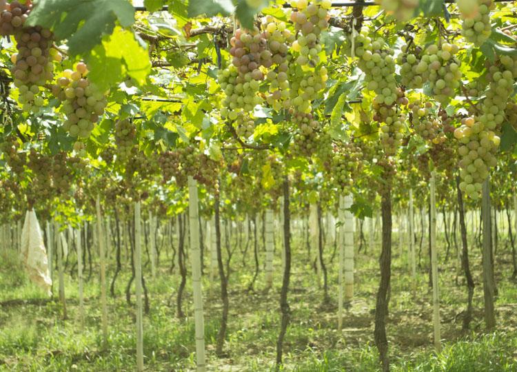 Productos uva for Viveros frutales bogota